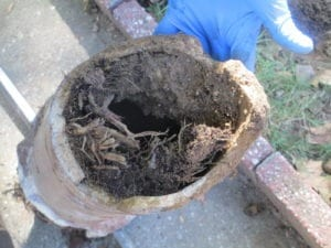 Roots in clay sewer pipe